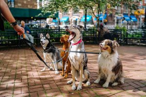 group of dogs on leads being walked