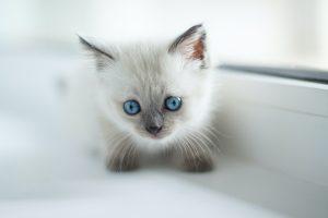 grey kitten on window