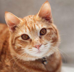 ginger cat with ginger eyes