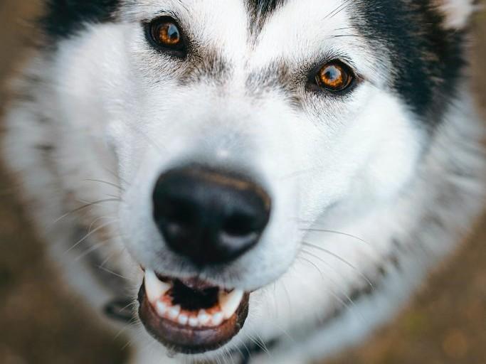 angry white dog