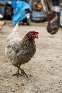 hen walking around backyard