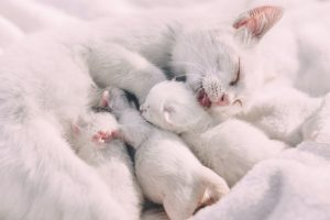 white cat giving birth