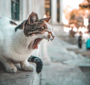 cat screaming
