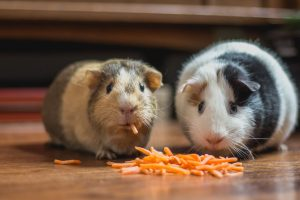 two hamsters eating carrot off the floor
