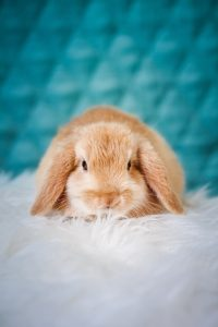 rabbit on white flurry pillow with blue background