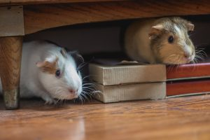 two hamsters hiding