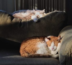 ginger and white cats sleeping on a sofa