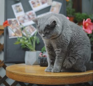 short hair grey cat sitting on round table