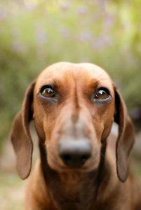 brown dachshund with big eyes