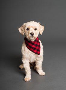 white dog wearing red and black tartan collar