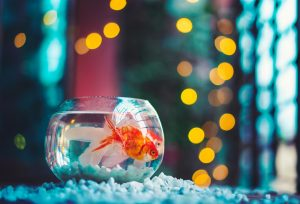 goldfish in tank with lights behind it