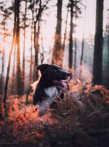 adult white and black border collie dog in a forest