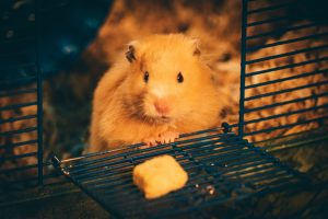 yellow hamster eating in cage