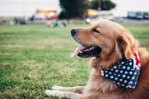 golden retriever wearing american flag collar