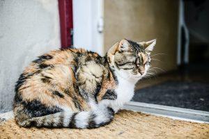 calico cat by open door