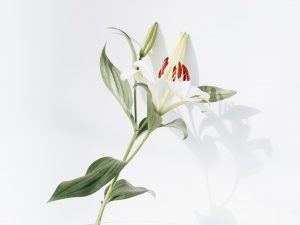 white and red lily flower