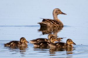 brown duck and ducklings on the water