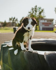 black and white collie sitting on a tyre