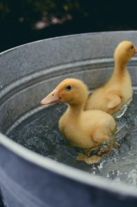 two yellow ducklings in with a bucket of water