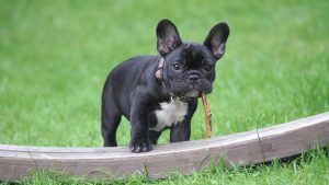 black and white french bulldog stepping on wooden board panel