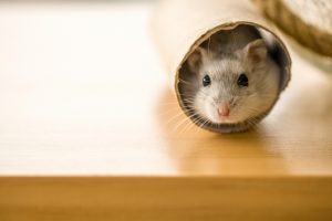 hamster in toilet roll