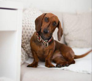 daschund sitting on couch