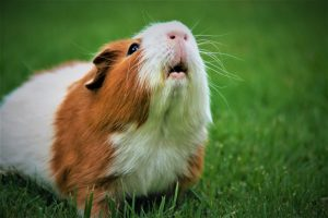 brown and white hamster with mouth open
