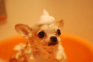 brown chihuahua in the bath
