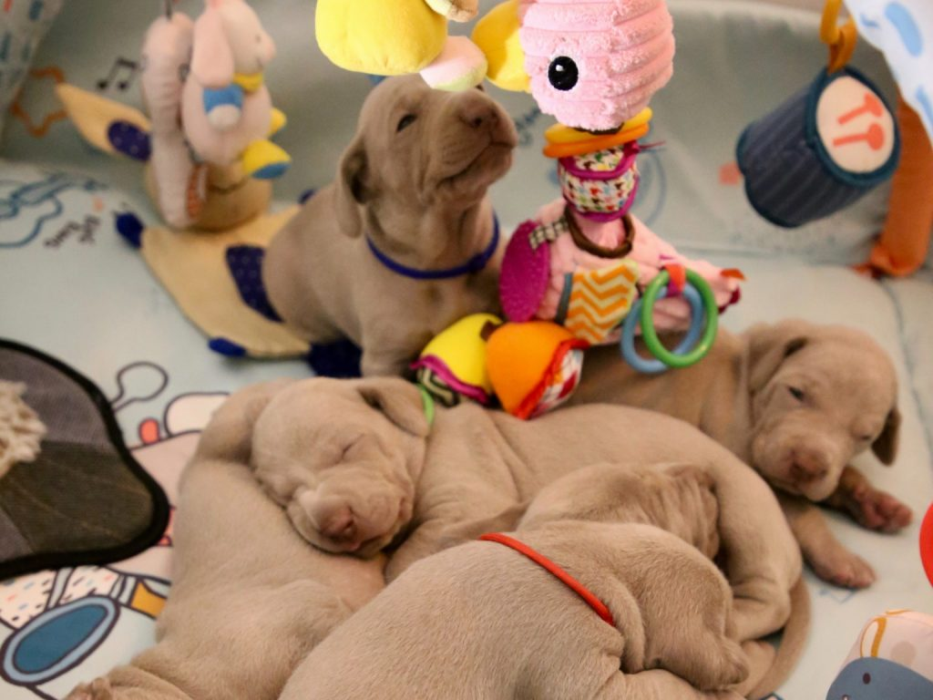 puppies with toys