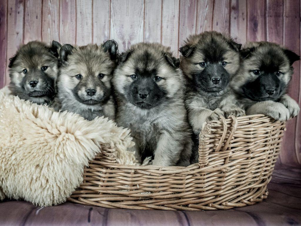 basket of grey puppies