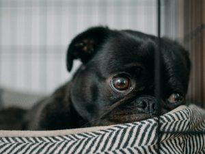 black pug in bed