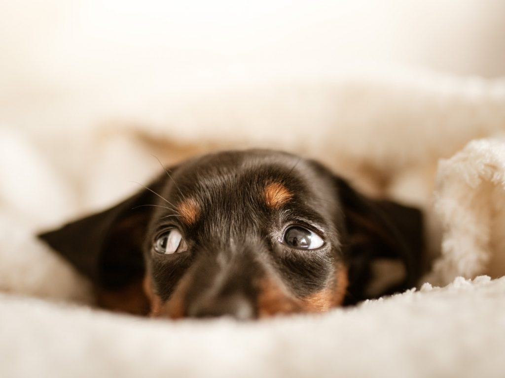 puppy hiding in the sheets