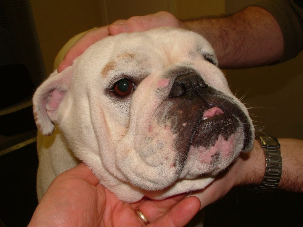 boxer with a mouth rash