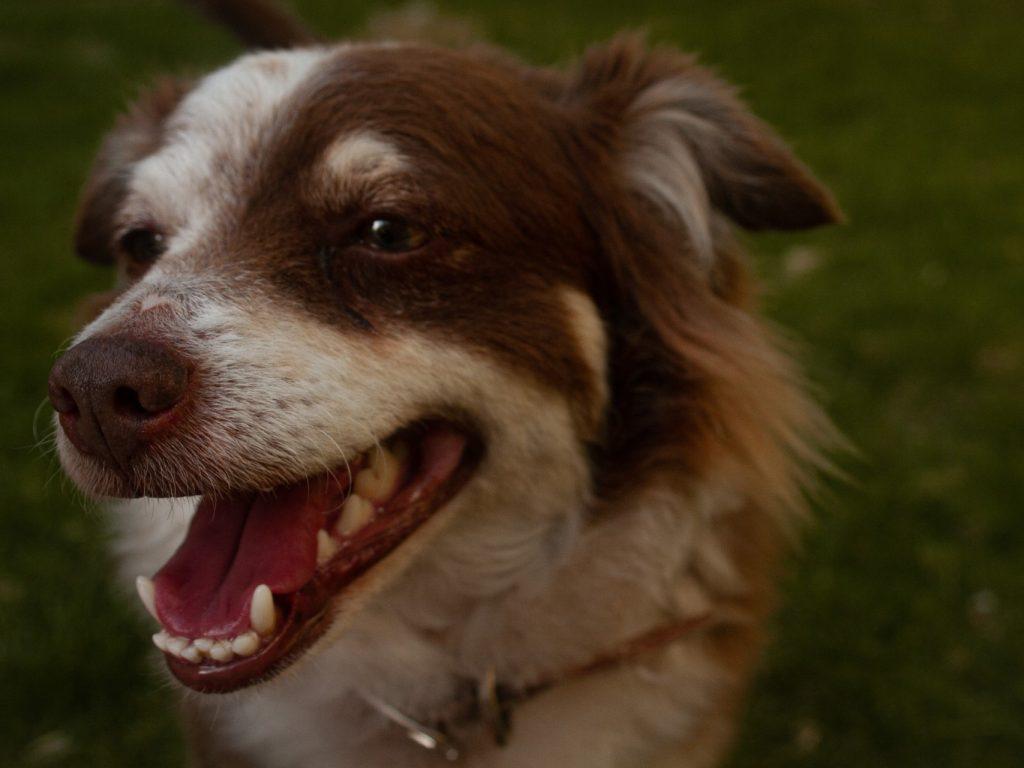 brown dog and teeth