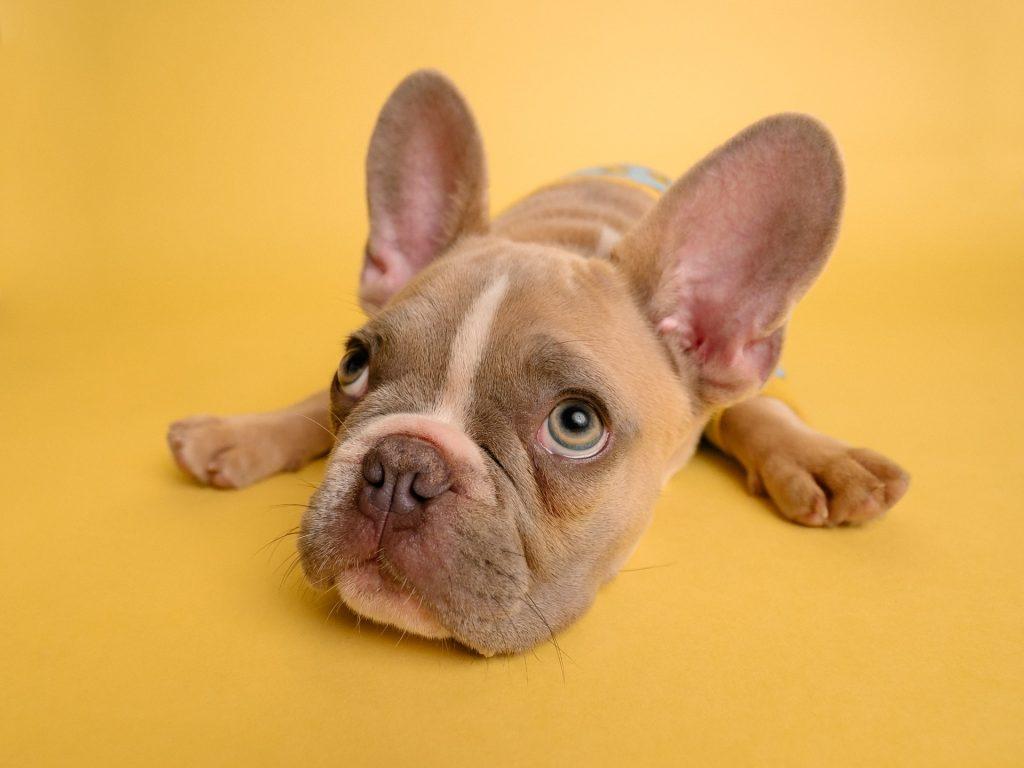 bulldog lying on yellow floor