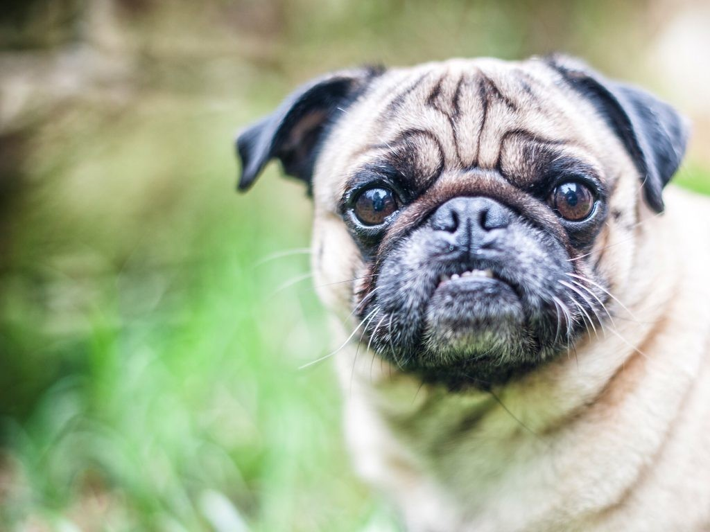 pug dog in the grass