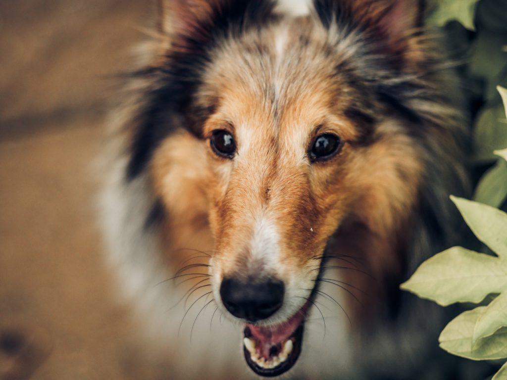 collie dog up close