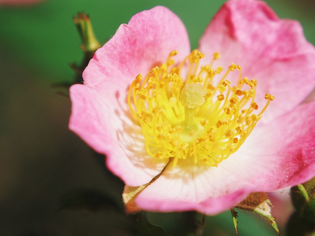 pink and yellow flower with pollen