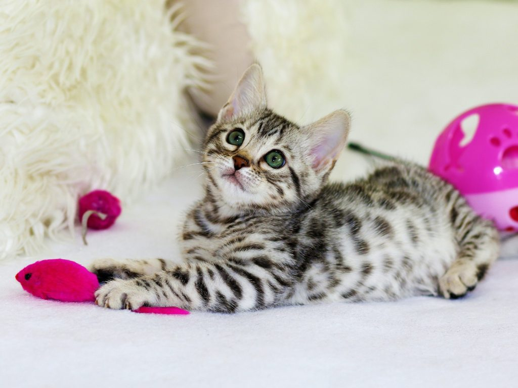 kitten with pink toys