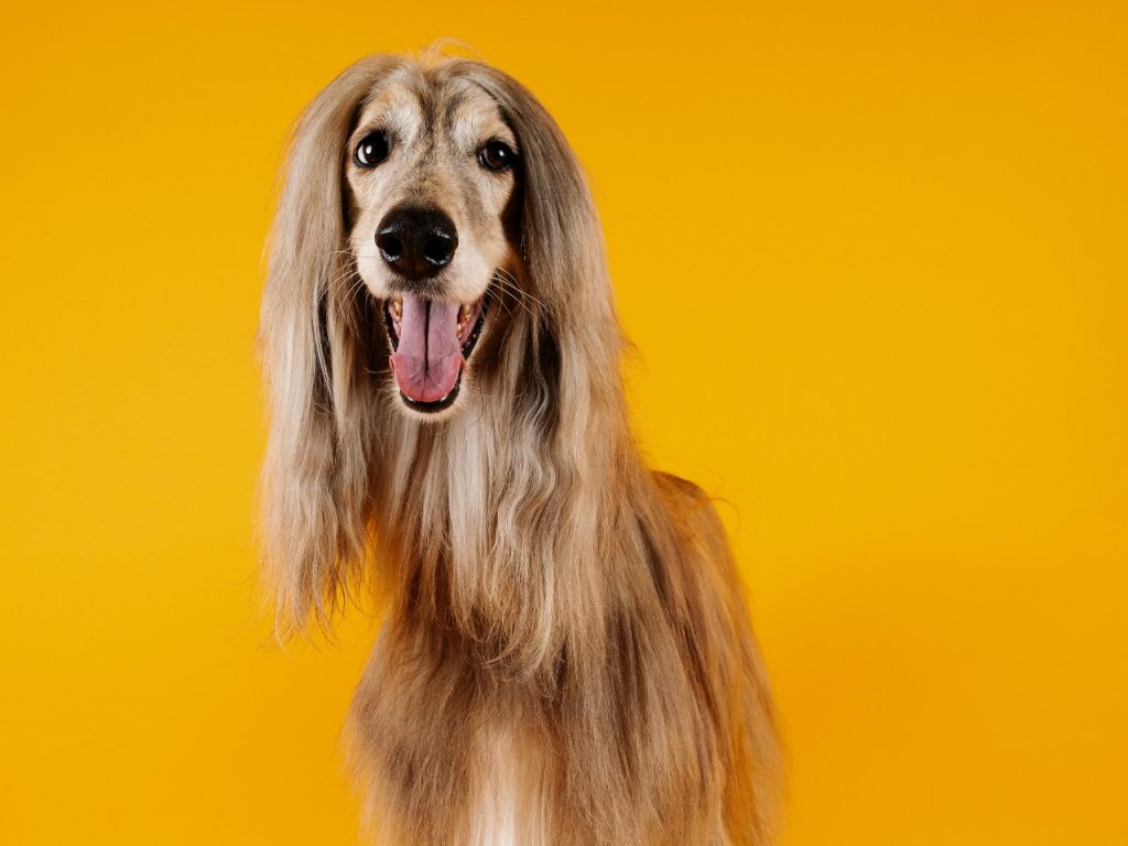 long haired dog with yellow background