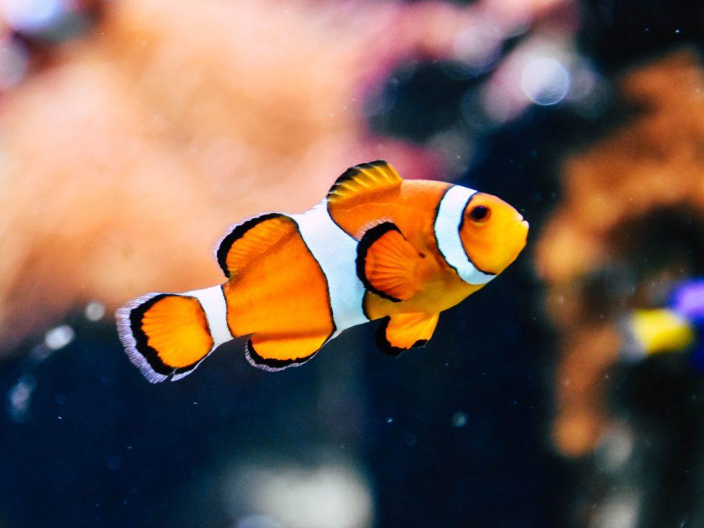 orange white and black fish