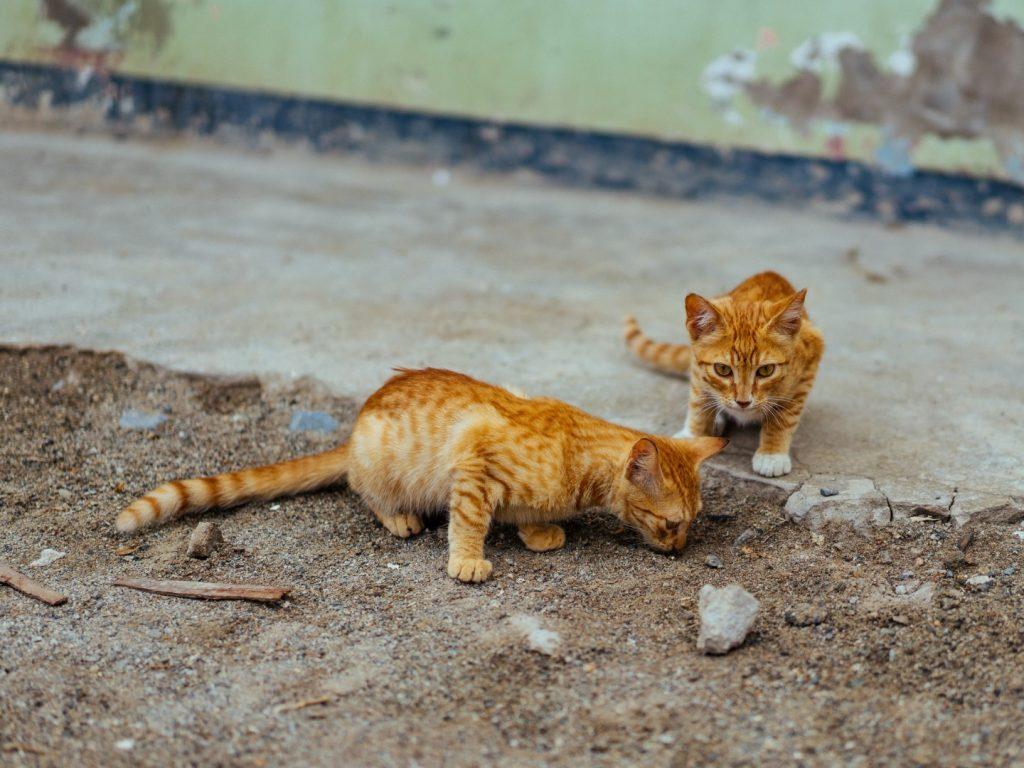orange kittens playing