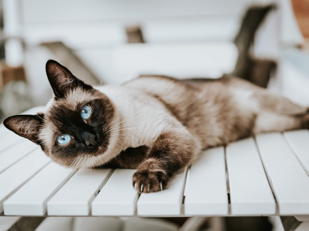 siamese cat lying on a table