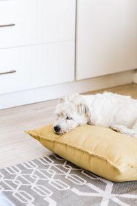 white long coat small dog lying on yellow pillow