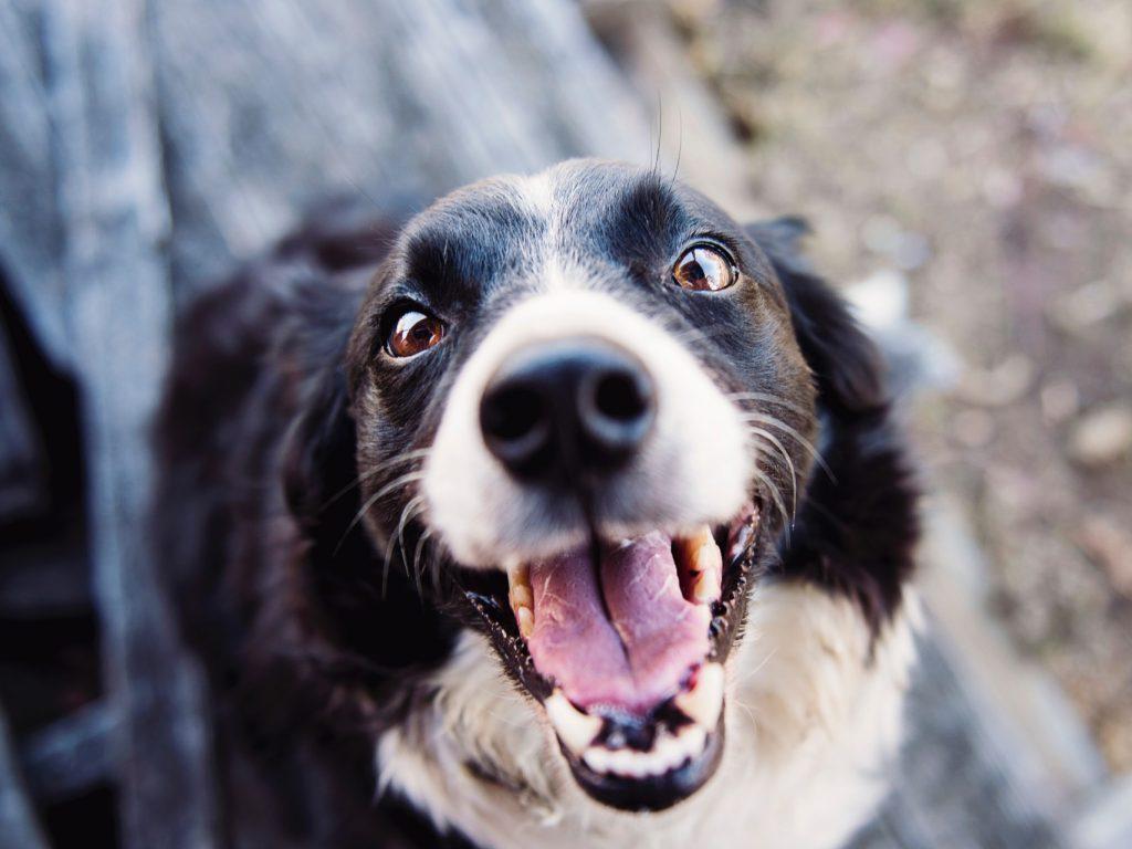 COLLIE DOG EYES