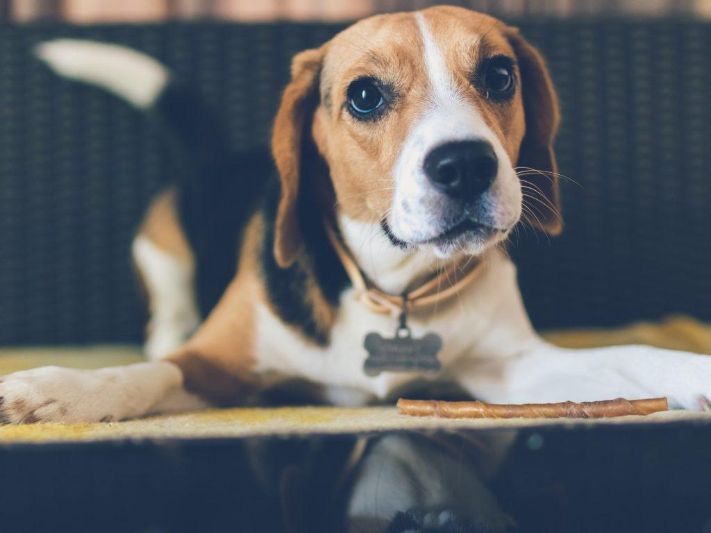 beagle dog eye