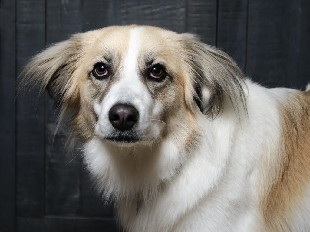 white dog floppy ears