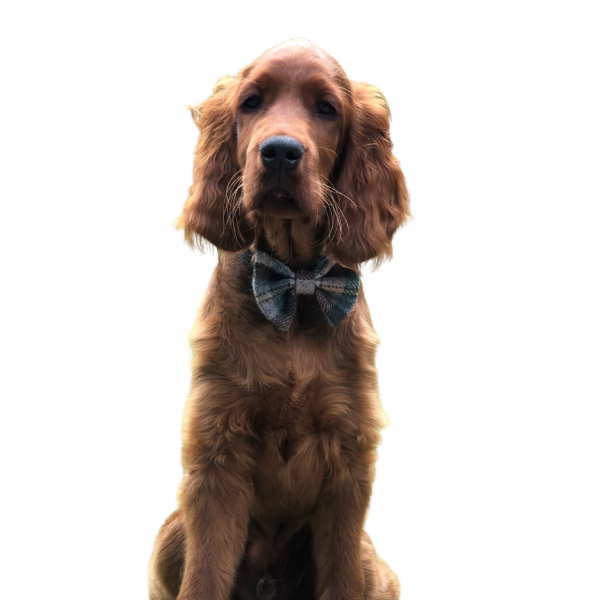 Dog wearing don't forget the dog Bowtie