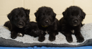 Four black Puppies sitting on a pillow