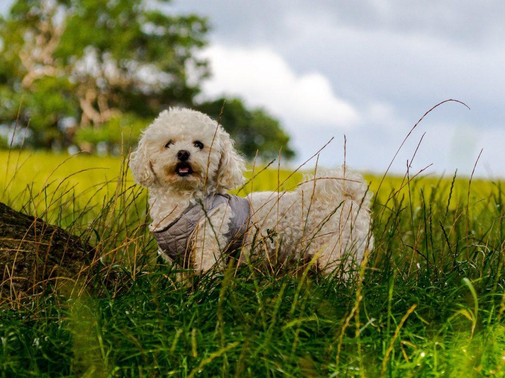bichon frise in the field